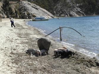 v Bolívii je možný úplně všechno - i prasata v moři!