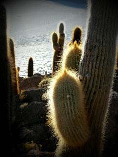 kaktus prsatec